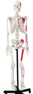 Cranstein Scientific Skelett