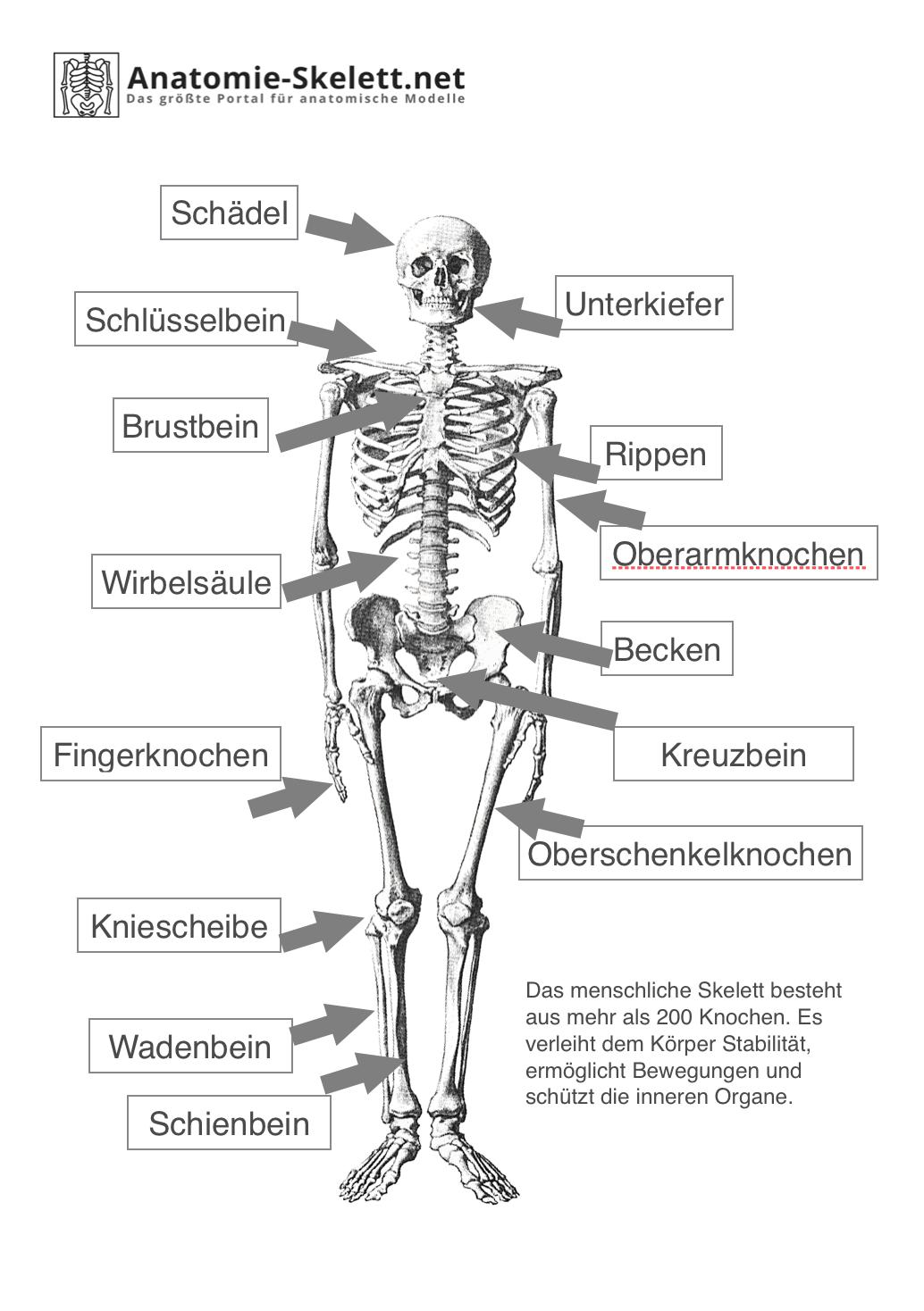 Das menschliche Skelett - beschriftet (Lehrmaterial) | Anatomie ...