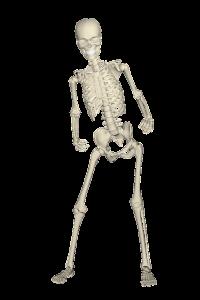 Das Skelett des Menschen