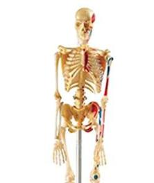 Skelett Modelle unter 100€