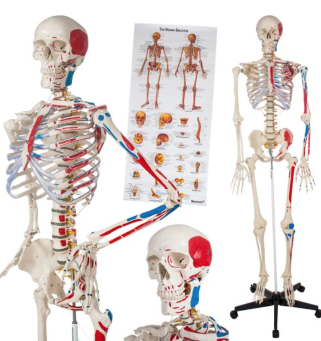 Angebote: Skelett Modelle unter 1000€ | Anatomie-Skelett.net