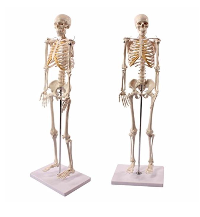 Anatomie-Skelett.net | Anatomie Skelett: Vergleich, Bestseller ...