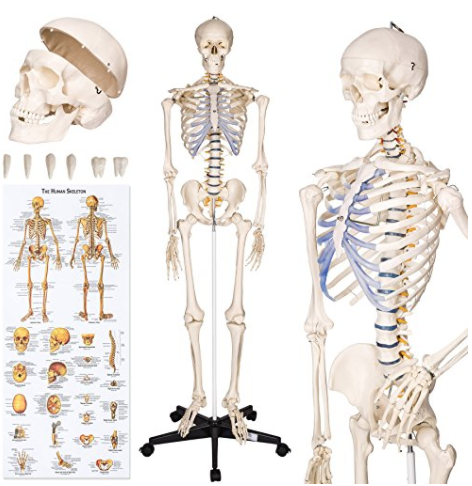 TecTake Anatomie Skelette & Lernmaterialien 2018 | Anatomie-Skelett.net