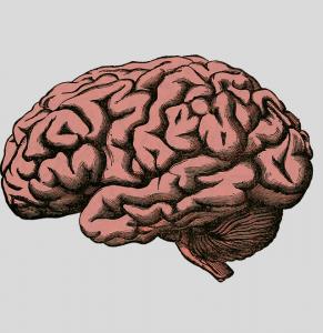 Organ Gehirn