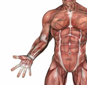 Organe des Körpers: Muskeln