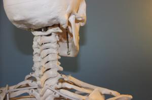 Physiotherapie Skelett kaufen