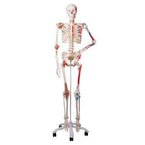 Skelett flexible Wirbelsäule