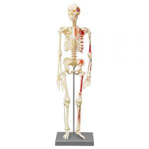 Miniatur Skelett