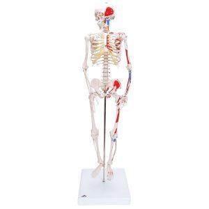 Anatome Skelett mit Muskeln