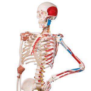 Anatomie Skelett mit Muskeln