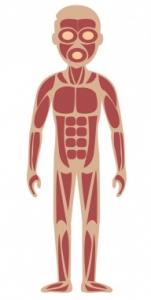 Skelettmuskeln