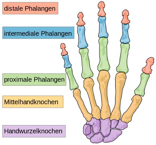 Menschliche Handknochen
